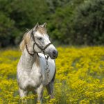 white-horse-in-false-flax-field-150x150 Allgemeine Information