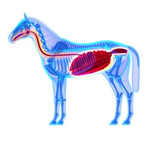 fressen-verdauung-beim-pferd-malou-bio-futtermittel-300x300 Was passiert eigentlich wenn Pferde fressen?